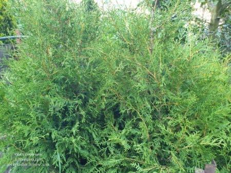 Туя західна Брабант (Thuja occidentalis Brabant) ФОТО Розплідник рослин Природа (71)