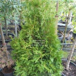 Туя западная Брабант (Thuja occidentalis Brabant) ФОТО Питомник растений Природа (72)