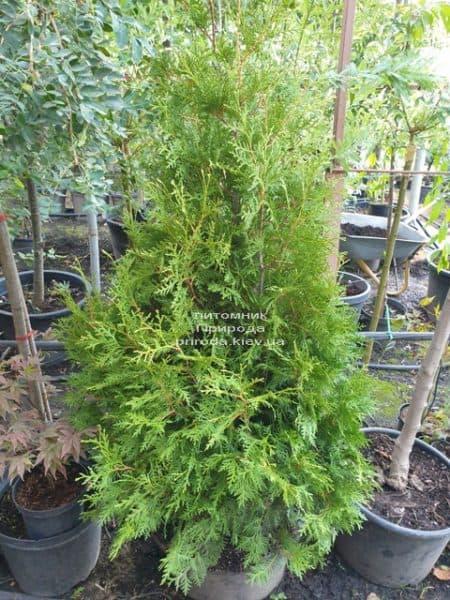 Туя західна Брабант (Thuja occidentalis Brabant) ФОТО Розплідник рослин Природа (72)