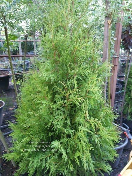 Туя західна Брабант (Thuja occidentalis Brabant) ФОТО Розплідник рослин Природа (73)