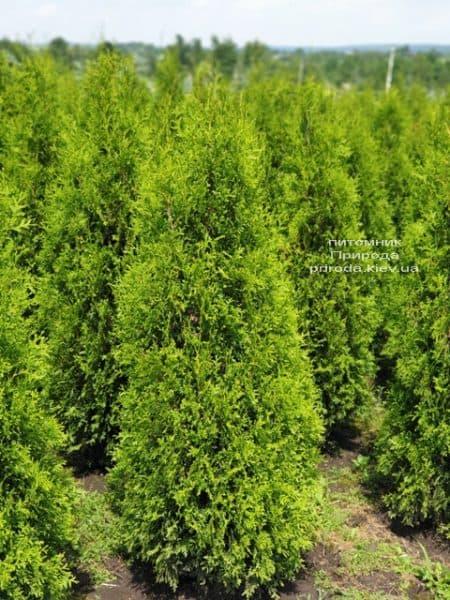 Туя западная Кинг оф Брабант (Thuja occidentalis King of Brabant) ФОТО Питомник растений Природа (1)