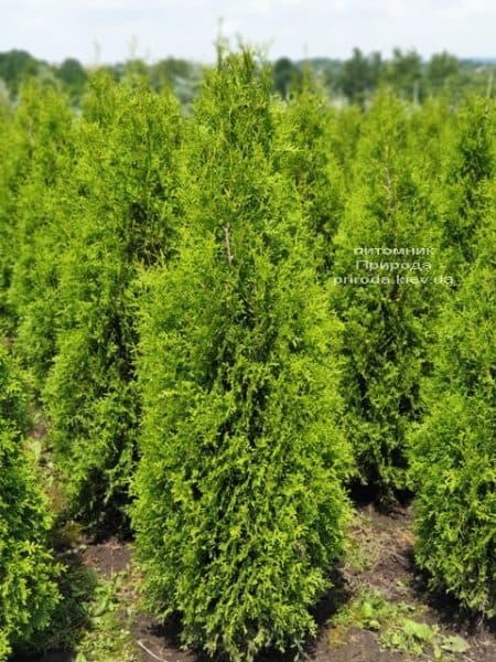 Туя западная Кинг оф Брабант (Thuja occidentalis King of Brabant) ФОТО Питомник растений Природа (2)