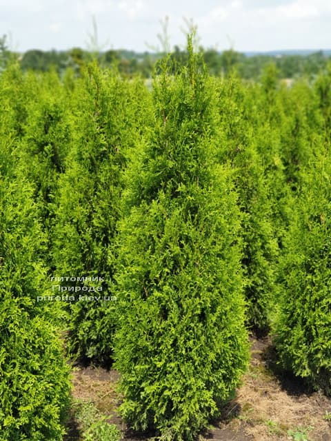 Туя західна Кінг оф Брабант (Thuja occidentalis King of Brabant) ФОТО Розплідник рослин Природа (3)