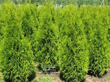 Туя западная Кинг оф Брабант (Thuja occidentalis King of Brabant) ФОТО Питомник растений Природа (4)