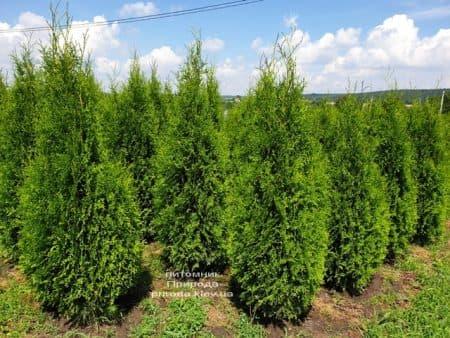 Туя західна Кінг оф Брабант (Thuja occidentalis King of Brabant) ФОТО Розплідник рослин Природа (5)