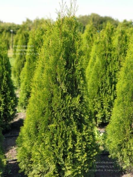 Туя западная Смарагд (Thuja occidentalis Smaragd) ФОТО Питомник растений Природа (107)