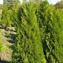 Туя западная Смарагд (Thuja occidentalis Smaragd) ФОТО Питомник растений Природа (108)