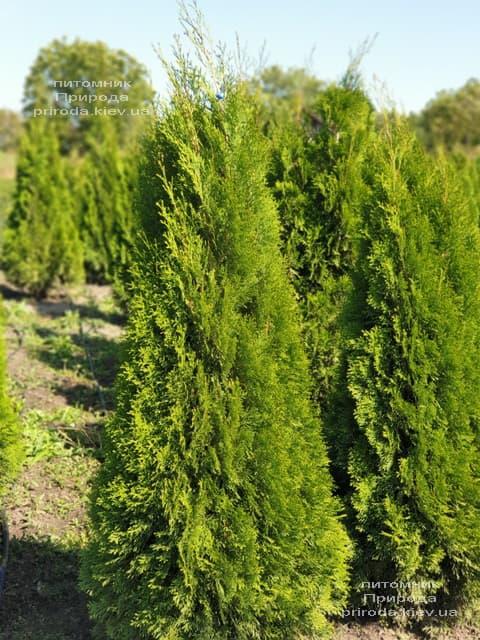 Туя західна Смарагд (Thuja occidentalis Smaragd) ФОТО Розплідник рослин Природа (108)