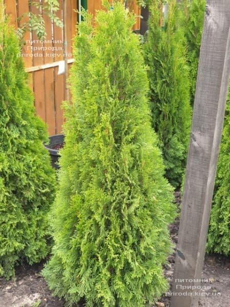 Туя западная Смарагд (Thuja occidentalis Smaragd) ФОТО Питомник растений Природа (109)