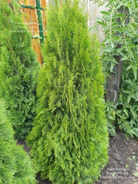 Туя западная Смарагд (Thuja occidentalis Smaragd) ФОТО Питомник растений Природа (110)