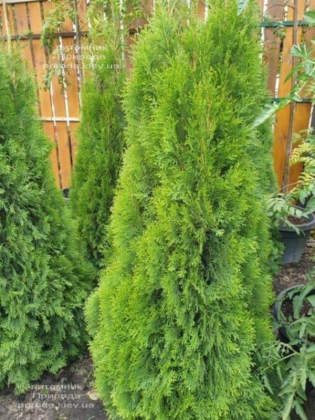 Туя западная Смарагд (Thuja occidentalis Smaragd) ФОТО Питомник растений Природа (111)