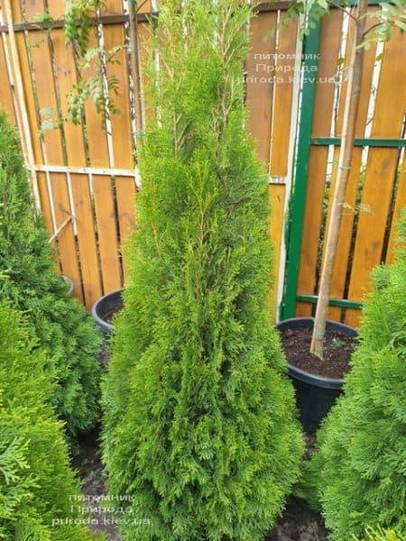 Туя західна Смарагд (Thuja occidentalis Smaragd) ФОТО Розплідник рослин Природа (112)