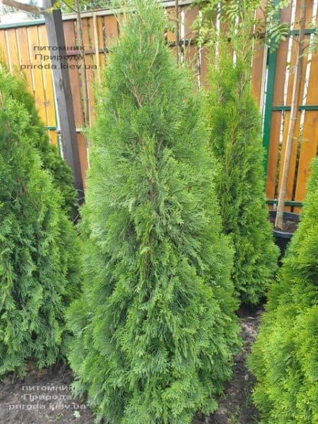 Туя западная Смарагд (Thuja occidentalis Smaragd) ФОТО Питомник растений Природа (113)