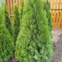 Туя западная Смарагд (Thuja occidentalis Smaragd) ФОТО Питомник растений Природа (114)