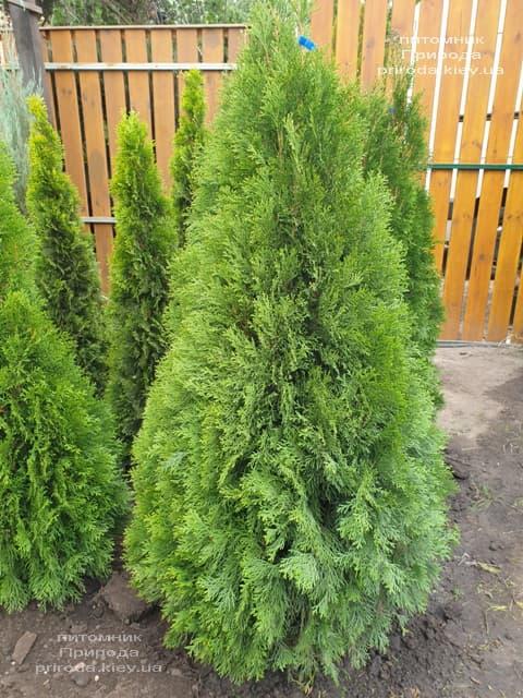Туя західна Смарагд (Thuja occidentalis Smaragd) ФОТО Розплідник рослин Природа (114)
