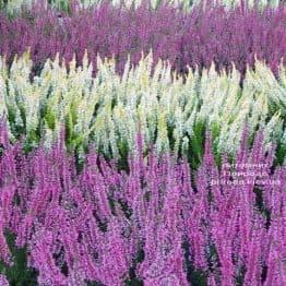 Вереск обыкновенный (Calluna vulgaris) ФОТО Питомник растений Природа (1)