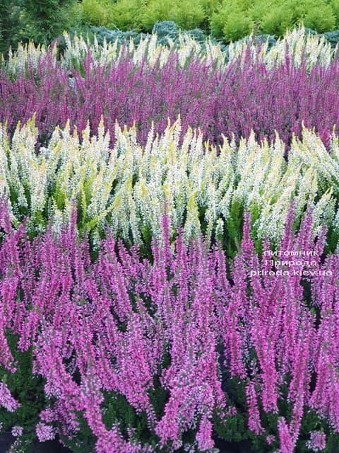 Верес звичайний (Calluna vulgaris) ФОТО Розплідник рослин Природа (1)