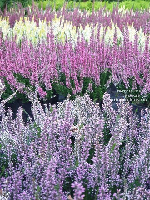 Верес звичайний (Calluna vulgaris) ФОТО Розплідник рослин Природа (2)
