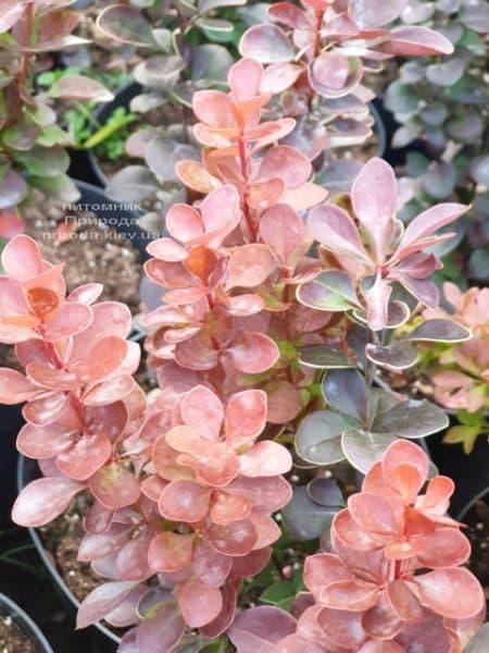 Барбарис Тунберга Вулкан (Berberis thunbergii Vulcano) ФОТО Розплідник рослин Природа (2)