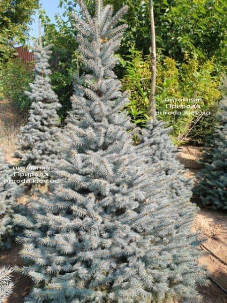 Ялина блакитна Глаука (Picea pungens Glauca) ФОТО Розплідник рослин Природа (100)