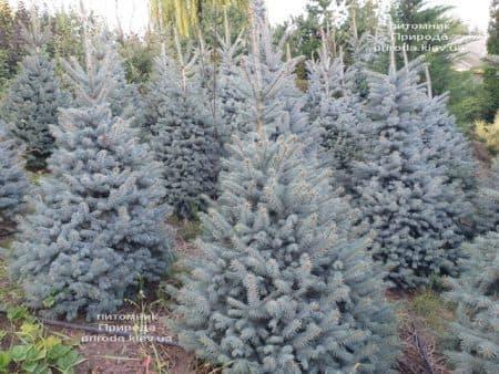 Ялина блакитна Глаука (Picea pungens Glauca) ФОТО Розплідник рослин Природа (101)