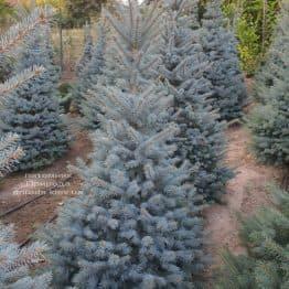 Ель голубая Глаука (Picea pungens Glauca) ФОТО Питомник растений Природа (102)