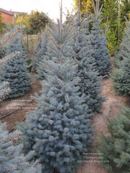 Ялина блакитна Глаука (Picea pungens Glauca) ФОТО Розплідник рослин Природа (102)