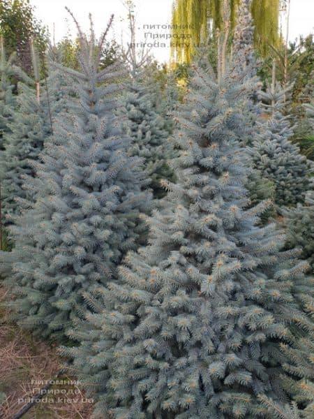 Ялина блакитна Глаука (Picea pungens Glauca) ФОТО Розплідник рослин Природа (104)