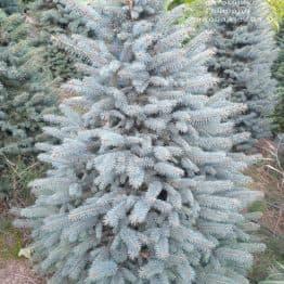 Ель голубая Глаука (Picea pungens Glauca) ФОТО Питомник растений Природа (105)