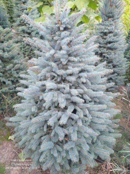 Ялина блакитна Глаука (Picea pungens Glauca) ФОТО Розплідник рослин Природа (105)