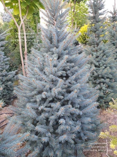 Ялина блакитна Глаука (Picea pungens Glauca) ФОТО Розплідник рослин Природа (106)