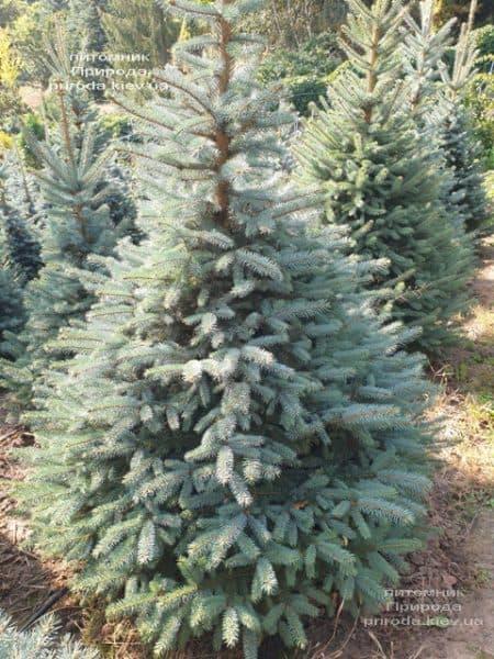 Ялина блакитна Глаука (Picea pungens Glauca) ФОТО Розплідник рослин Природа (107)