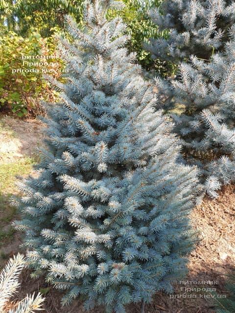 Ялина блакитна Глаука (Picea pungens Glauca) ФОТО Розплідник рослин Природа (108)