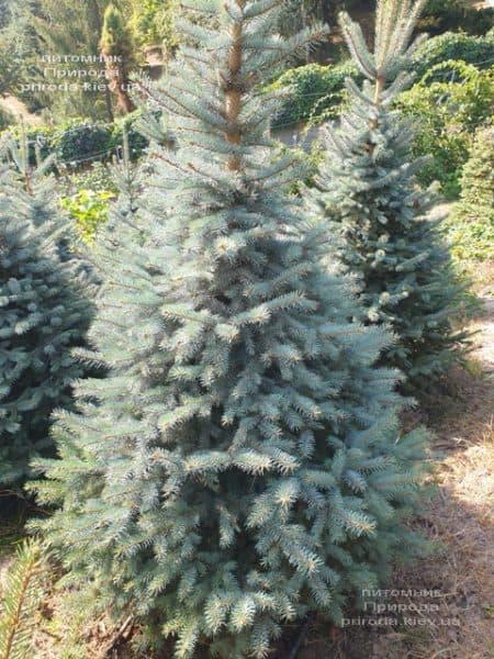 Ялина блакитна Глаука (Picea pungens Glauca) ФОТО Розплідник рослин Природа (109)