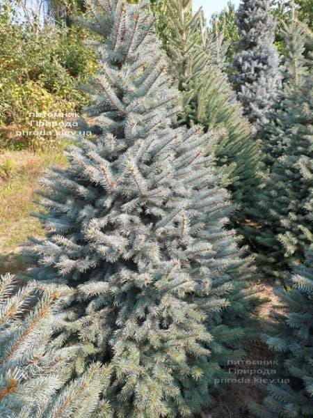 Ялина блакитна Глаука (Picea pungens Glauca) ФОТО Розплідник рослин Природа (110)