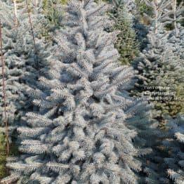 Ель голубая Глаука (Picea pungens Glauca) ФОТО Питомник растений Природа (112)