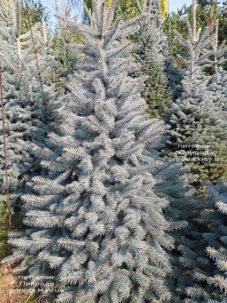 Ялина блакитна Глаука (Picea pungens Glauca) ФОТО Розплідник рослин Природа (112)
