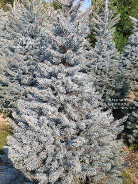 Ялина блакитна Глаука (Picea pungens Glauca) ФОТО Розплідник рослин Природа (113)
