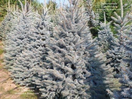 Ялина блакитна Глаука (Picea pungens Glauca) ФОТО Розплідник рослин Природа (114)