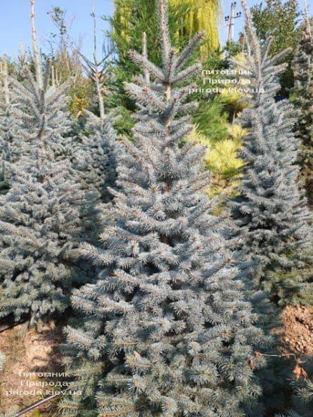 Ялина блакитна Глаука (Picea pungens Glauca) ФОТО Розплідник рослин Природа (115)