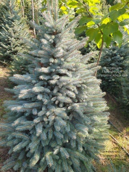 Ялина блакитна Глаука (Picea pungens Glauca) ФОТО Розплідник рослин Природа (116)