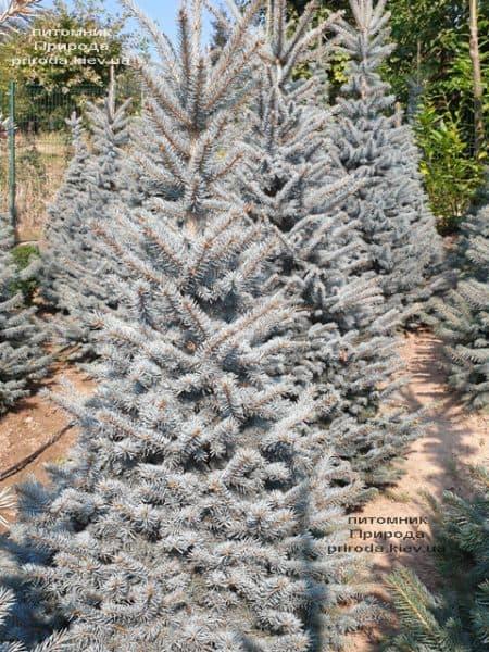 Ялина блакитна Глаука (Picea pungens Glauca) ФОТО Розплідник рослин Природа (118)