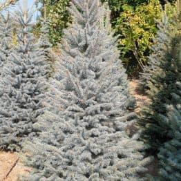 Ель голубая Глаука (Picea pungens Glauca) ФОТО Питомник растений Природа (119)