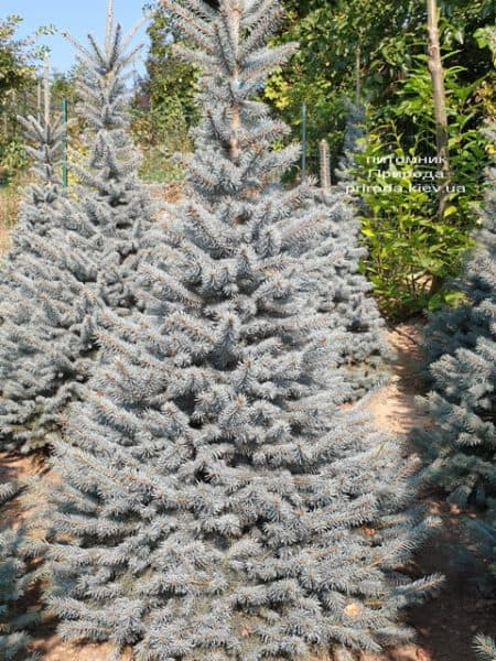 Ялина блакитна Глаука (Picea pungens Glauca) ФОТО Розплідник рослин Природа (120)