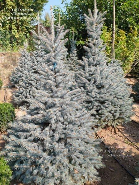 Ялина блакитна Глаука (Picea pungens Glauca) ФОТО Розплідник рослин Природа (121)