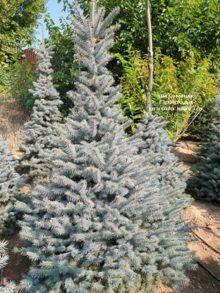 Ялина блакитна Глаука (Picea pungens Glauca) ФОТО Розплідник рослин Природа (122)