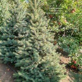 Ель колючая Глаука (Picea pungens Glauca) ФОТО Питомник растений Природа (55)