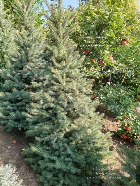 Ялина колюча Глаука (Picea pungens Glauca) ФОТО Розплідник рослин Природа (55)