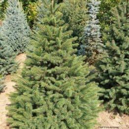 Ель колючая Глаука (Picea pungens Glauca) ФОТО Питомник растений Природа (57)