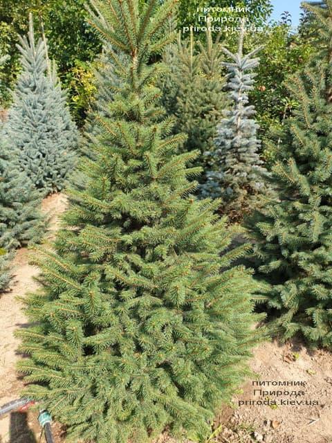 Ялина колюча Глаука (Picea pungens Glauca) ФОТО Розплідник рослин Природа (57)